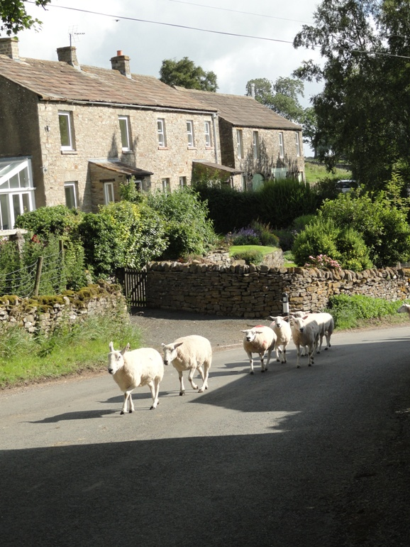 Sheep herding in Melmerby